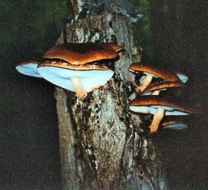 Mushroom-Night